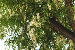 De mooie dagvlinders verzamelen en drinken nectar van boombloemen Aglaisurticae tegen de blauwe hemel Groene bladeren en royalty-vrije stock foto's