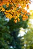 de mooie de herfstkleur van Japan mapleleaves op boom is gre Royalty-vrije Stock Afbeeldingen