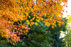 de mooie de herfstkleur van Japan mapleleaves op boom is gre Stock Foto's