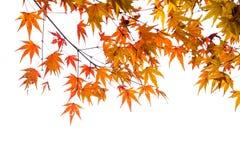 de mooie de herfstkleur van Japan mapleleaves op boom, yello Stock Afbeelding