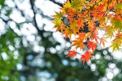 de mooie de herfstkleur van Japan mapleleaves op boom, yello Royalty-vrije Stock Fotografie