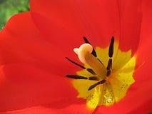 De mooie de lentebloemen zijn tulpen Stock Afbeelding