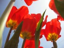 De mooie de lentebloemen zijn tulpen Royalty-vrije Stock Afbeelding