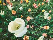 De mooie dichte witte tulp met anderen kleurt omhoog uitstekende stijl Royalty-vrije Stock Foto's
