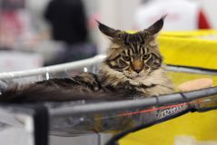 De mooie dieren bij de kat tonen stock foto