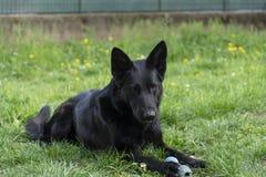 De mooie Duitse herdershond heeft een rust in de binnenplaats royalty-vrije stock afbeelding