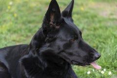 De mooie Duitse intense ogen van de herdershond stock fotografie