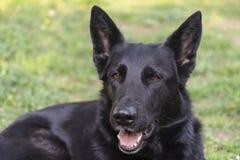 De mooie Duitse intense ogen van de herdershond royalty-vrije stock afbeeldingen