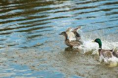 De mooie eenden met de afgesneden vleugels drijven op een meer en proberen omhoog dicht te vliegen Stock Afbeeldingen