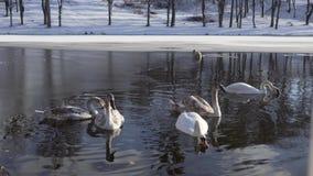 De mooie Familie van Zwaanvogels bij de Wintermeer stock video