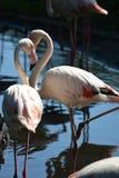 de mooie flamingo's die zich in het midden van de pool bevinden bekijken elkaar stock foto's