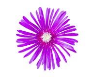 De mooie geïsoleerde bloemen van de Close-up purpere Aster Stock Afbeelding