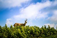 De mooie geit van de gemzenberg in natuurlijke habitat Stock Foto's