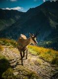 De mooie geit van de gemzenberg in natuurlijke habitat Stock Foto
