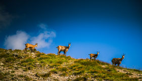 De mooie geit van de gemzenberg in natuurlijke habitat Royalty-vrije Stock Fotografie