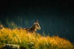 De mooie geit van de gemzenberg in natuurlijke habitat Stock Afbeeldingen