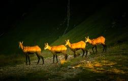 De mooie geit van de gemzenberg in natuurlijke habitat Royalty-vrije Stock Foto's
