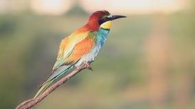 De mooie gekleurde vogel zingt een zitting van het de lentelied op een tak stock videobeelden
