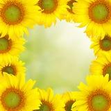 De Mooie gele achtergrond van de zonnebloem Stock Foto