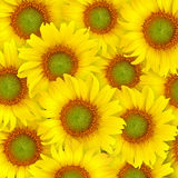 De Mooie gele achtergrond van de zonnebloem Royalty-vrije Stock Foto's