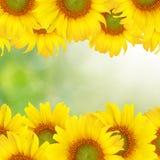 De Mooie gele achtergrond van de zonnebloem Royalty-vrije Stock Afbeeldingen