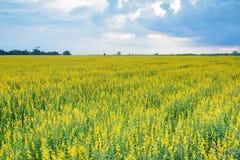 De mooie gele bloemen van het Crotalariagebied en bewolkte hemel Stock Foto's