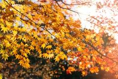 de mooie gele de herfstkleur van Japan mapleleaves op boom, Stock Afbeelding