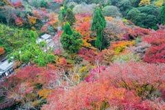 de mooie gele de herfstkleur van Japan mapleleaves op boom, Royalty-vrije Stock Afbeeldingen