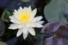 De mooie gele en witte lotusbloemvijvers zijn prachtig bloeiend stock foto