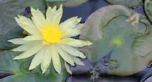 De mooie gele en witte lotusbloemvijvers zijn prachtig bloeiend stock foto's