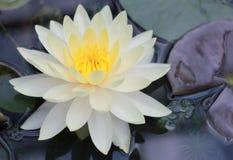 De mooie gele en witte lotusbloemvijvers zijn prachtig bloeiend royalty-vrije stock foto's