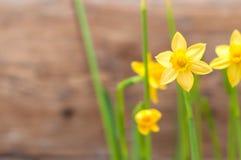De mooie gele gele narcissen, narcissen sluiten omhoog op houten muurbac Royalty-vrije Stock Foto's