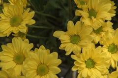 De mooie Gele installatie van bloemgerbera in de tuin royalty-vrije stock foto
