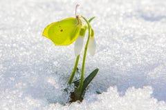 De mooie gele vlinder zit op de eerste bloem die van het de lentesneeuwklokje uit uit echte sneeuw komen stock fotografie