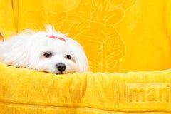 De mooie gelukkige hond van het bichon Maltese puppy zit frontaal Royalty-vrije Stock Afbeelding