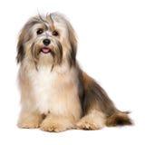 De mooie gelukkige jonge hond van Bichon Havanese Royalty-vrije Stock Afbeeldingen