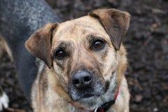 De mooie gemengde herdershond bevindt zich in de tuin en kijkt omhoog aan de camera royalty-vrije stock afbeeldingen