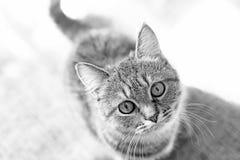 De mooie gestreepte kat bekijkt camera, close-up Medelevend kijk stock foto