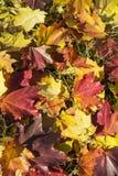 De mooie gevallen achtergrond van de herfstbladeren Stock Afbeeldingen