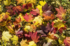 De mooie gevallen achtergrond van de herfstbladeren Stock Afbeelding