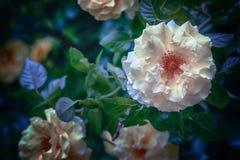De mooie gevoelige bloem nam toe Stock Afbeeldingen