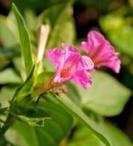 De mooie, gevoelige bloem van Vier Uur Royalty-vrije Stock Foto