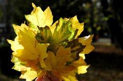 De mooie gloed van de herfstbladeren in de zon Een boeket van de herfstweiland Stock Foto