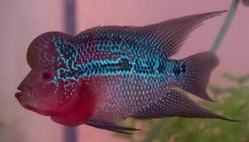 De mooie goede vissen van kleurenflowerhorn cichlid Royalty-vrije Stock Fotografie