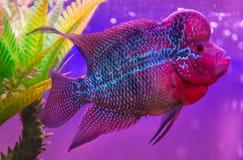De mooie goede vissen van kleurenflowerhorn cichlid Stock Afbeelding