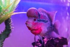 De mooie goede vissen van kleurenflowerhorn cichlid Royalty-vrije Stock Foto's