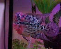 De mooie goede vissen van kleurenflowerhorn cichlid Stock Foto