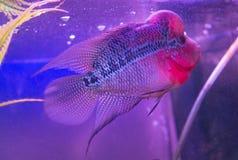 De mooie goede vissen van kleurenflowerhorn cichlid bij watertank met blauwe achtergrond Stock Foto