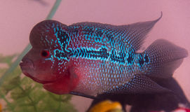 De mooie goede vissen van kleurenflowerhorn cichlid bij watertank met blauwe achtergrond Stock Afbeeldingen