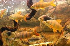 De mooie gouden overzeese vis zwemt in het aquarium royalty-vrije stock afbeelding